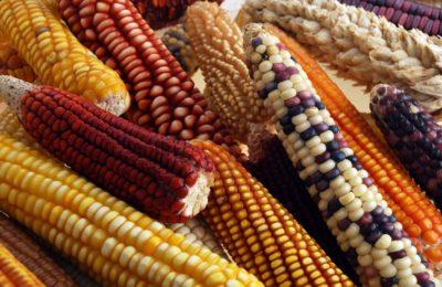 Aprueba Senado ley para el fomento y protección del maíz nativo