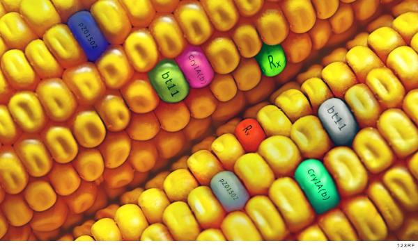 Sin resolución, demanda colectiva en contra del maíz transgénico