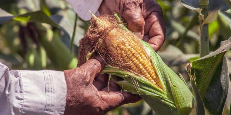 Se publica decreto presidencial que prohibe el glifosato y el maíz transgénico en un período de transición a enero de 2024