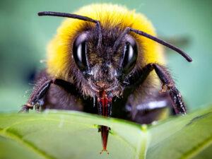 Calentamiento global amenaza a especies nativas de abejorros